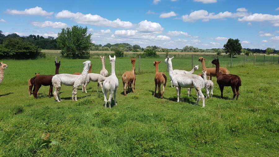 Alpaka-Herde-von-hinten