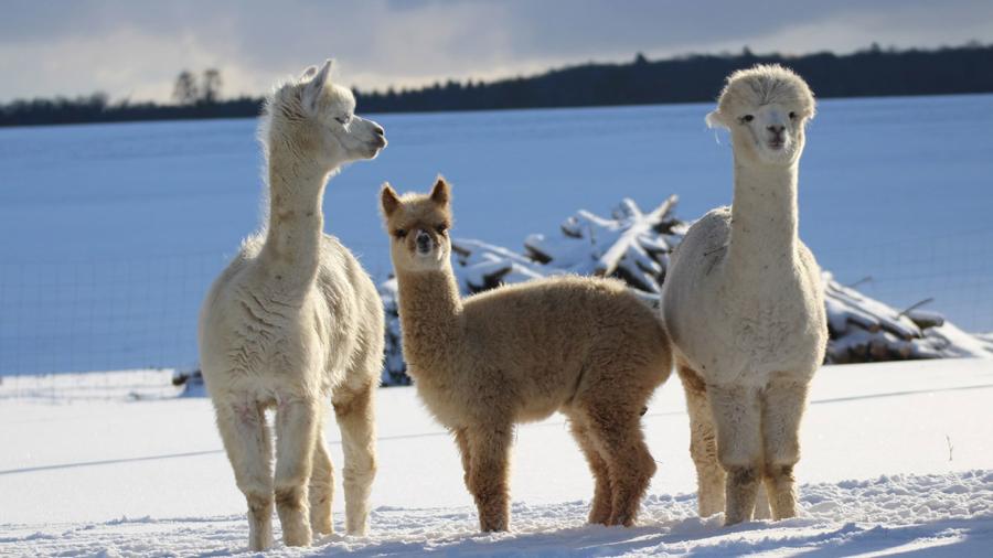 Alpakas-im-Schnee