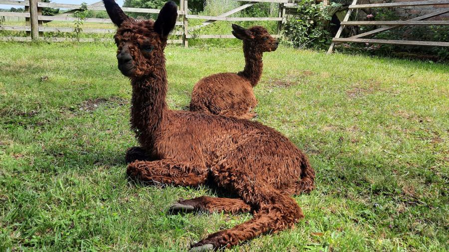 Alpakas-liegen-im-Gras
