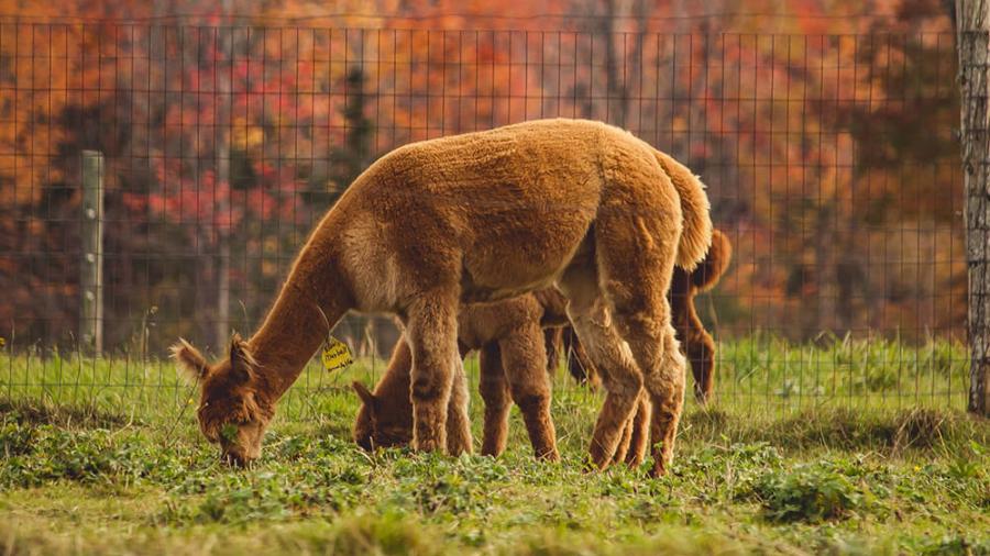 Moderhinke-Alpakas_Web